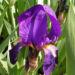 Zurück zum kompletten Bilderset Deutsche Schwertlilie Blüte lila Iris germanica