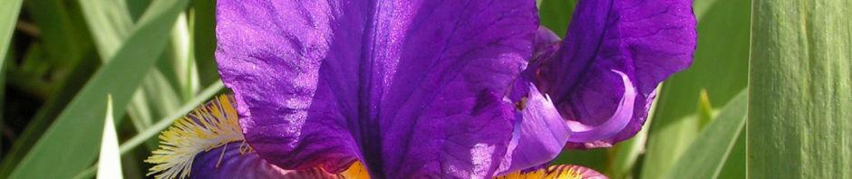 deutsche-schwertlilie-bluete-lila-iris-germanica