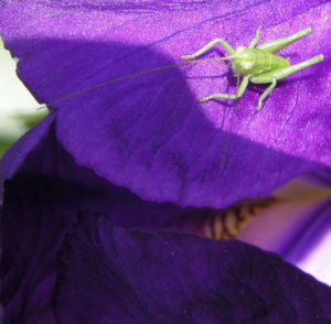 Deutsche Schwertlilie Bluete lila Iris germanica 11
