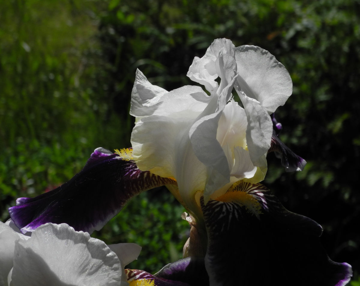Deutsche Schwertlilie Bluete weiss violett Iris germanica
