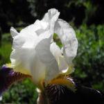 Deutsche Schwertlilie Bluete weiss violett Iris germanica 02