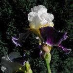 Deutsche Schwertlilie Bluete weiss violett Iris germanica 04