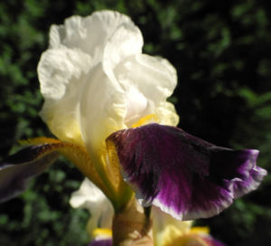 Deutsche Schwertlilie Bluete weiss violett Iris germanica 06