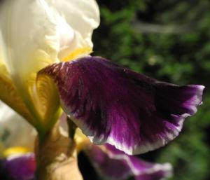 Deutsche Schwertlilie Bluete weiss violett Iris germanica 07