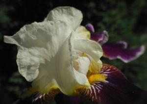 Deutsche Schwertlilie Bluete weiss violett Iris germanica 08
