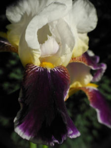 Deutsche Schwertlilie Bluete weiss violett Iris germanica 09