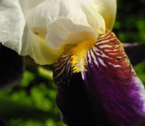 Deutsche Schwertlilie Bluete weiss violett Iris germanica 11