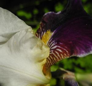 Deutsche Schwertlilie Bluete weiss violett Iris germanica 12
