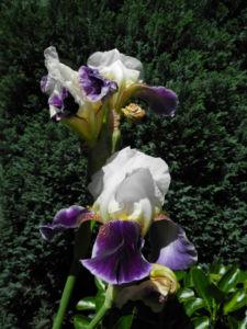 Deutsche Schwertlilie Bluete weiss violett Iris germanica 14