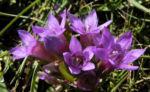 Deutscher Enzian Bluete helllila Gentianella germanica 13