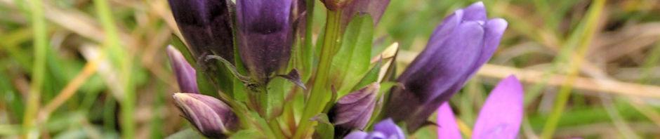 deutscher-fransenenzian-bluete-pink-gentianella-germanica