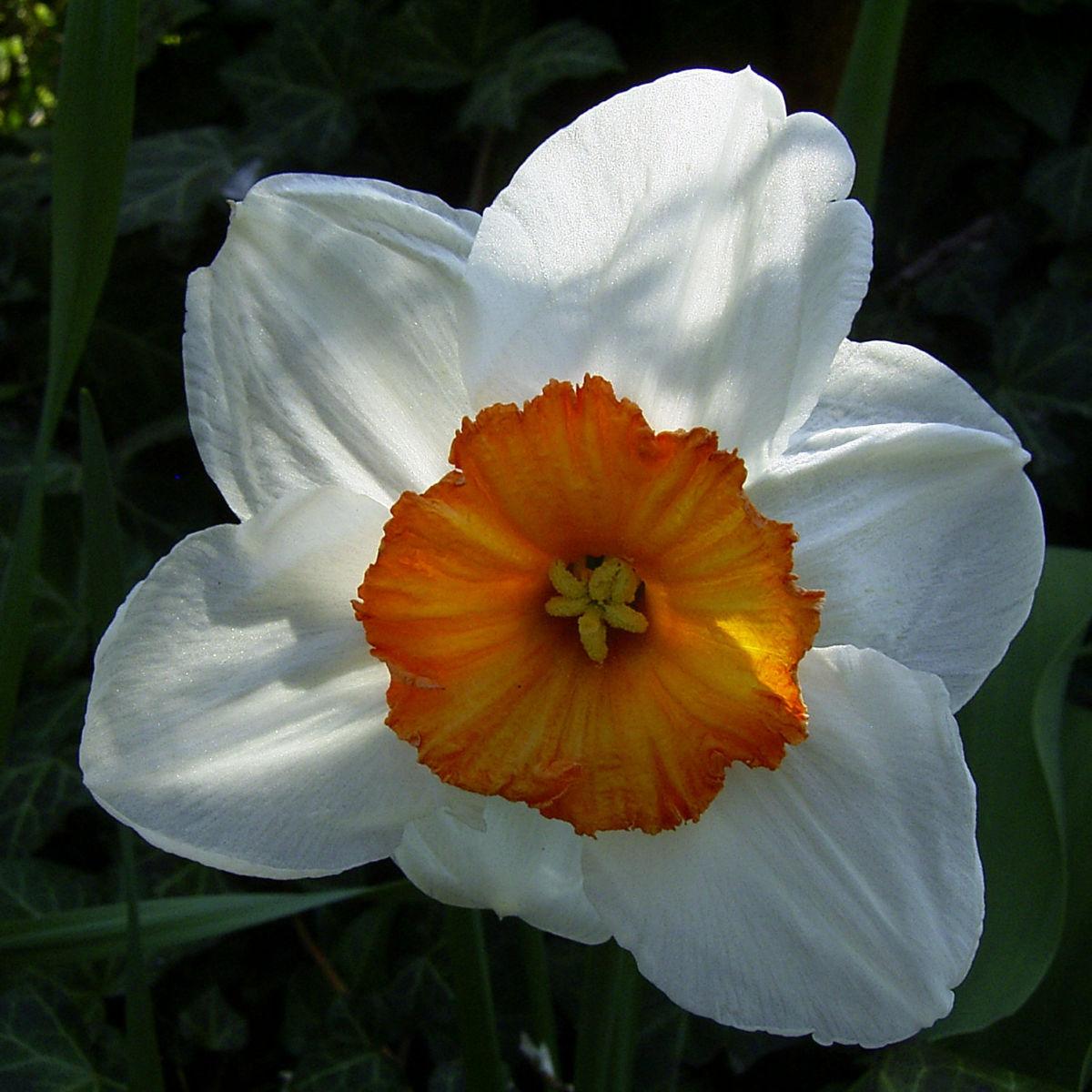 Dichternarzisse Narzissus poeticus