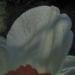 Zurück zum kompletten Bilderset Weiße Narzisse Blüte weiß Narcissus poeticus