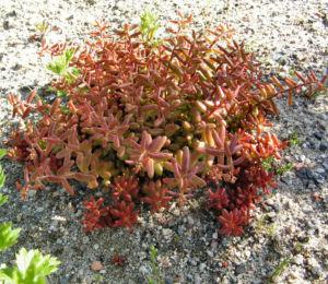 Dickblaettriger Mauerpfeffer Sedum dasyphyllum 04
