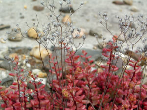Dickblaettriger Mauerpfeffer Sedum dasyphyllum 12