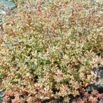 Dickblaettriger Mauerpfeffer Sedum dasyphyllum 16
