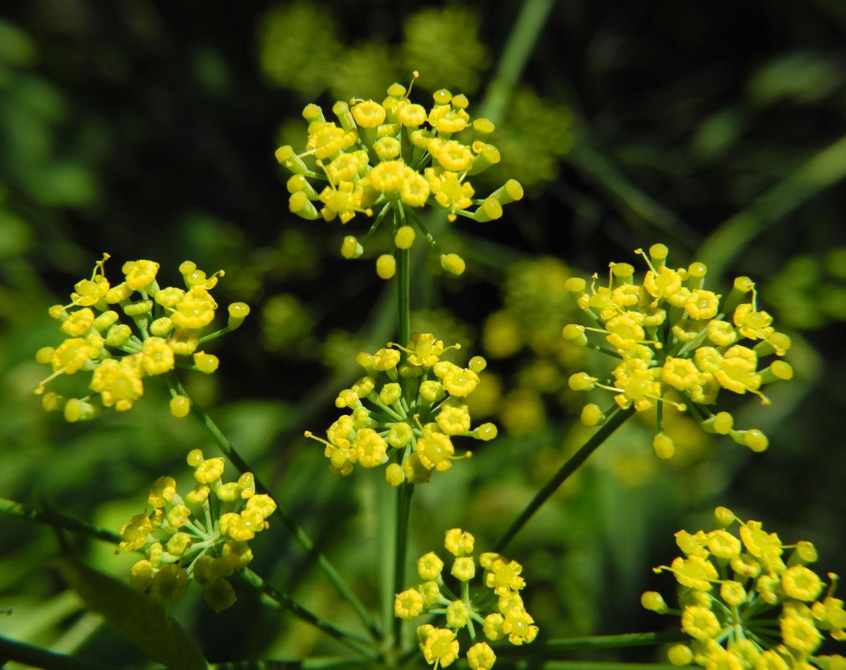 Dill Gurkenkraut Dolde gelb Anethum graveolens