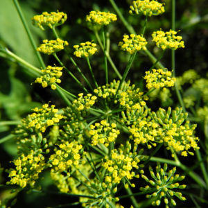 Dill Gurkenkraut Dolde gelb Anethum graveolens 05