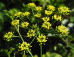 Dill Gurkenkraut Dolde gelb Anethum graveolens 06