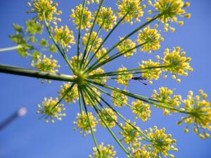 Dill Gurkenkraut Dolde gelb Anethum graveolens 13