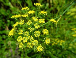 Dill Gurkenkraut Dolde gelb Anethum graveolens 18