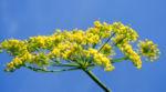 Dill Gurkenkraut Dolde gelb Anethum graveolens 19