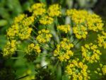 Dill Gurkenkraut Dolde gelb Anethum graveolens 21