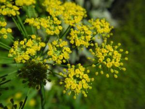 Dill Gurkenkraut Dolde gelb Anethum graveolens 22