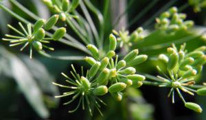 Dill Gurkenkraut Frucht gruen Anethum graveolens 01