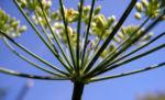 Dill Gurkenkraut Frucht gruen Anethum graveolens 04