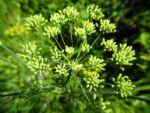 Dill Gurkenkraut Frucht gruen Anethum graveolens 06