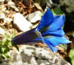 Dinarischer Enzian Bluete blau Gentiana dinarica 01