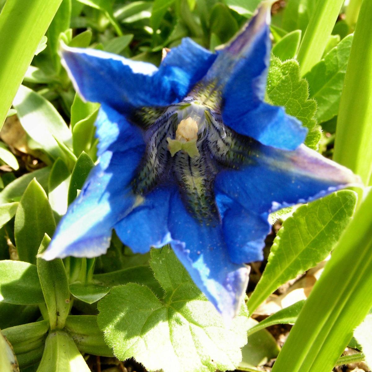 Dinarischer Enzian Bluete blau Gentiana dinarica