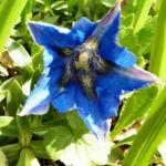 Dinarischer Enzian Bluete blau Gentiana dinarica 02