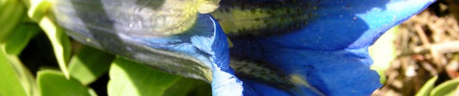 dinarischer-enzian-bluete-blau-gentiana-dinarica