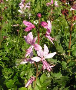 Diptam Brennender Busch Bluete weiss pink geadert Dictamnus albus 01
