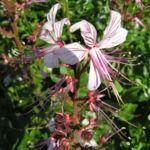 Diptam Brennender Busch Bluete weiss pink geadert Dictamnus albus 02