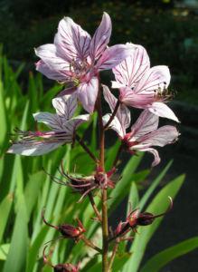Diptam Brennender Busch Bluete weiss pink geadert Dictamnus albus 03