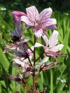 Diptam Brennender Busch Bluete weiss pink geadert Dictamnus albus 04