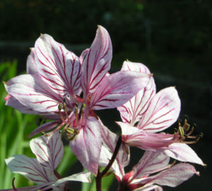 Diptam Brennender Busch Bluete weiss pink geadert Dictamnus albus 06