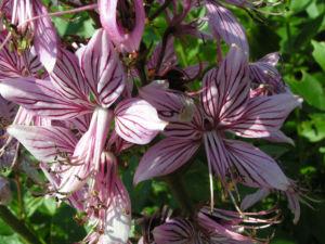 Diptam Brennender Busch Bluete weiss pink geadert Dictamnus albus 11