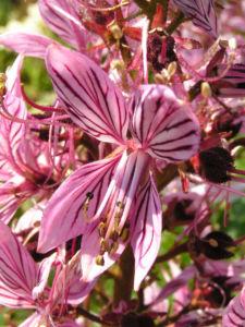 Diptam Brennender Busch Bluete weiss pink geadert Dictamnus albus 12