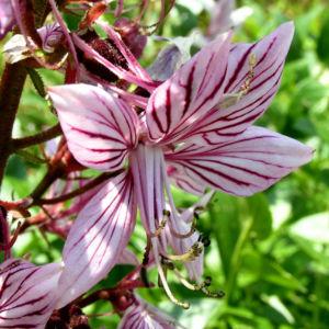 Diptam Brennender Busch Bluete weiss pink geadert Dictamnus albus 14
