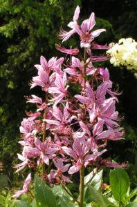Diptam Brennender Busch Bluete weiss pink geadert Dictamnus albus 15