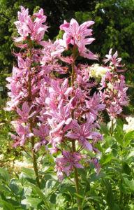 Diptam Brennender Busch Bluete weiss pink geadert Dictamnus albus 16
