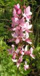 Diptam Brennender Busch Bluete weiss pink geadert Dictamnus albus 20