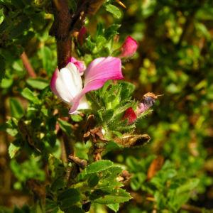 Dornige Hauhechel Bluete pink Ononis spinosa 03