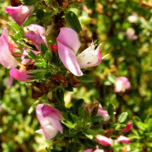 Dornige Hauhechel Bluete pink Ononis spinosa 05