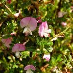 Dornige Hauhechel Bluete pink Ononis spinosa 06