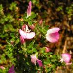 Dornige Hauhechel Bluete pink Ononis spinosa 07